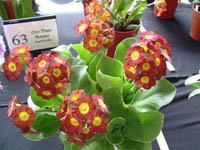 Border Auricula BORDER PATROL bred by the late Ken Whorton