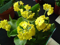 Border Auricula PARADISE YELLOW shown by Pat and Robin Fisher