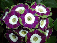 Fancy Auricula OLD TIMER