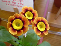 Gold centred Alpine Auricula BANTRY BAY