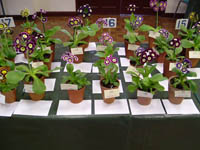 Part of the well supported Alpine Auricula classes