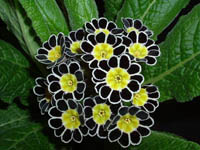 Silver laced polyanthus
